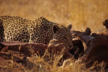 Wildlife Photography for Beginners, leopard