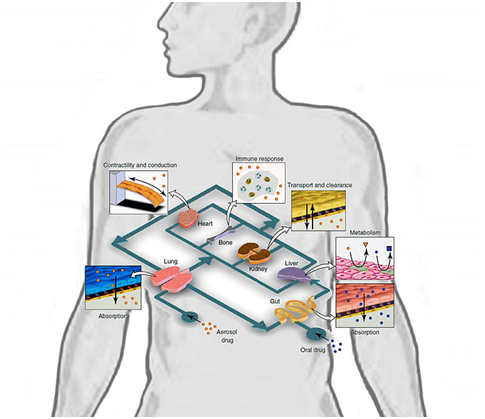Artificial Human Organs To Boost Hep B Trials